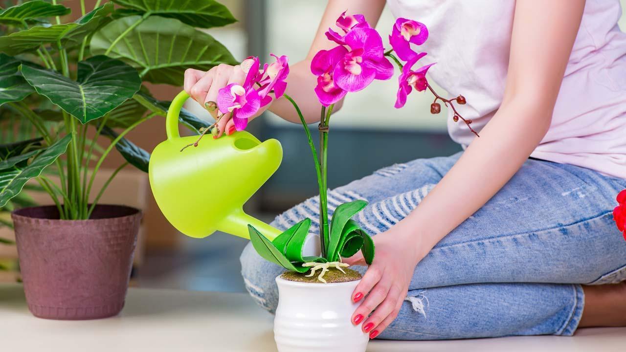 Richtige Orchideenpflege im Winter - beim gießen