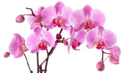 Richtige Orchideenpflege im Winter - in rosa