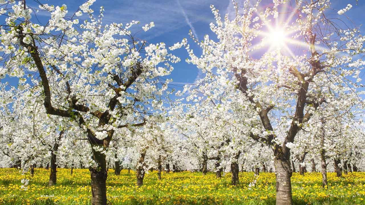 Der richtige Obstbaumschnitt - Apfelblüte