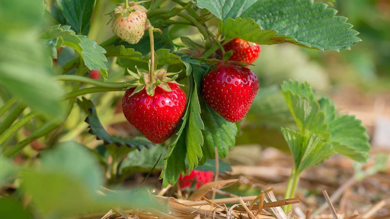 Aussaat im August - Erdbeeren