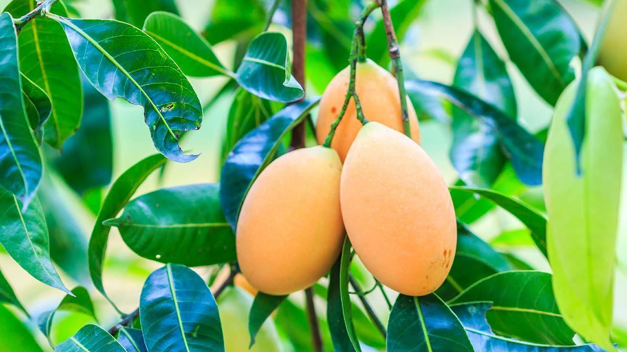 Vom Kern zur Pflanze - Mangopflanze