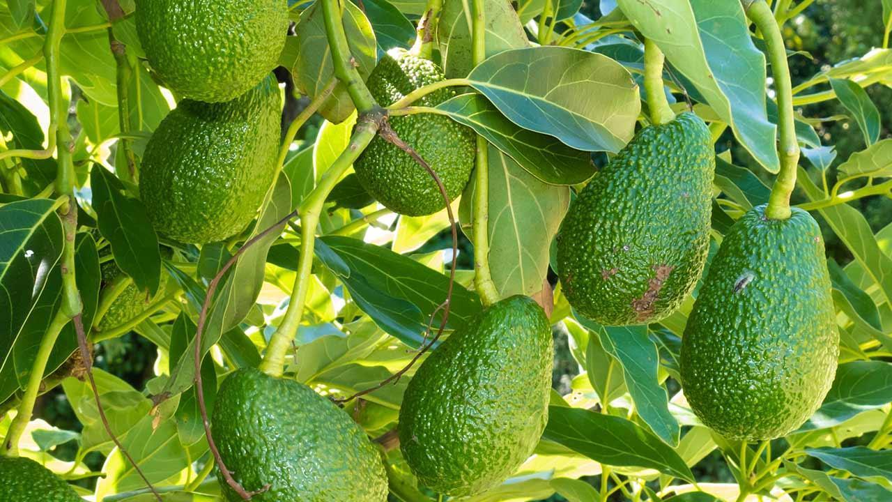 Vom Kern zur Pflanze - Avocado