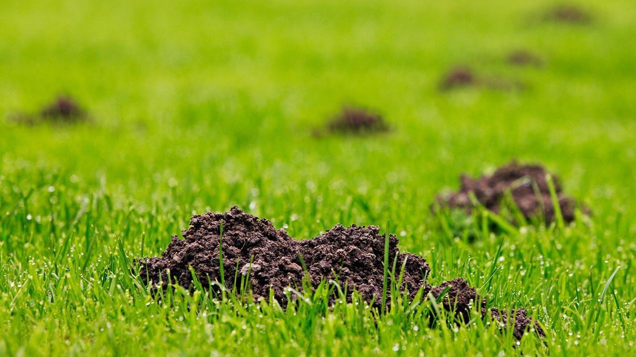 Was hilft bei Wühlmäusen im Garten - Erdhaufen im Gras