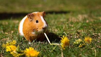 Sind Meerschweinchen als Haustiere für Kinder geeignet?
