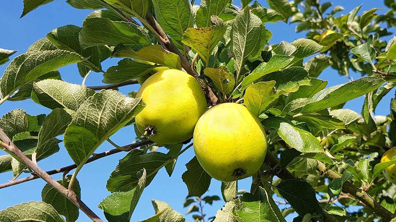 Schmackhafte Apfelbaumsorten für den eigenen Garten - Ananasrenette