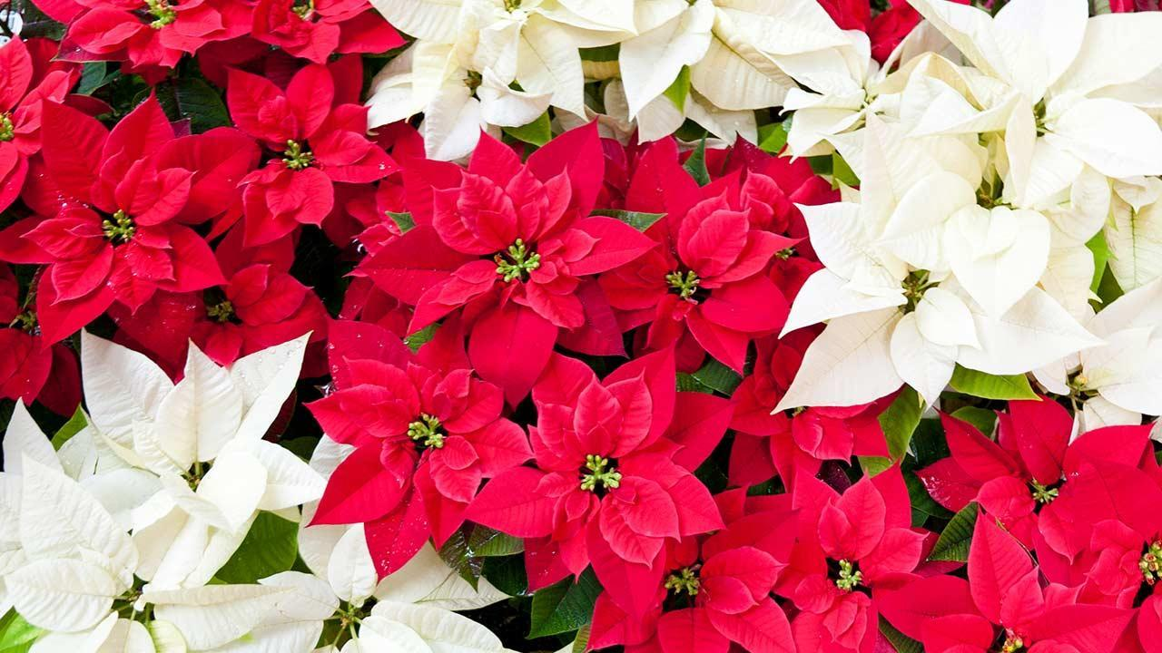Der Weihnachtsstern - rot und weiss