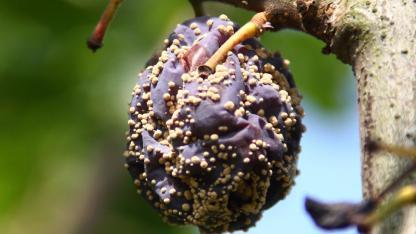 Fruchtmumien im Garten entfernen - alte Pflaume