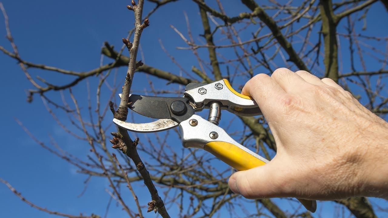 Obstbaumschnitt im Februar - gelbe Astschere