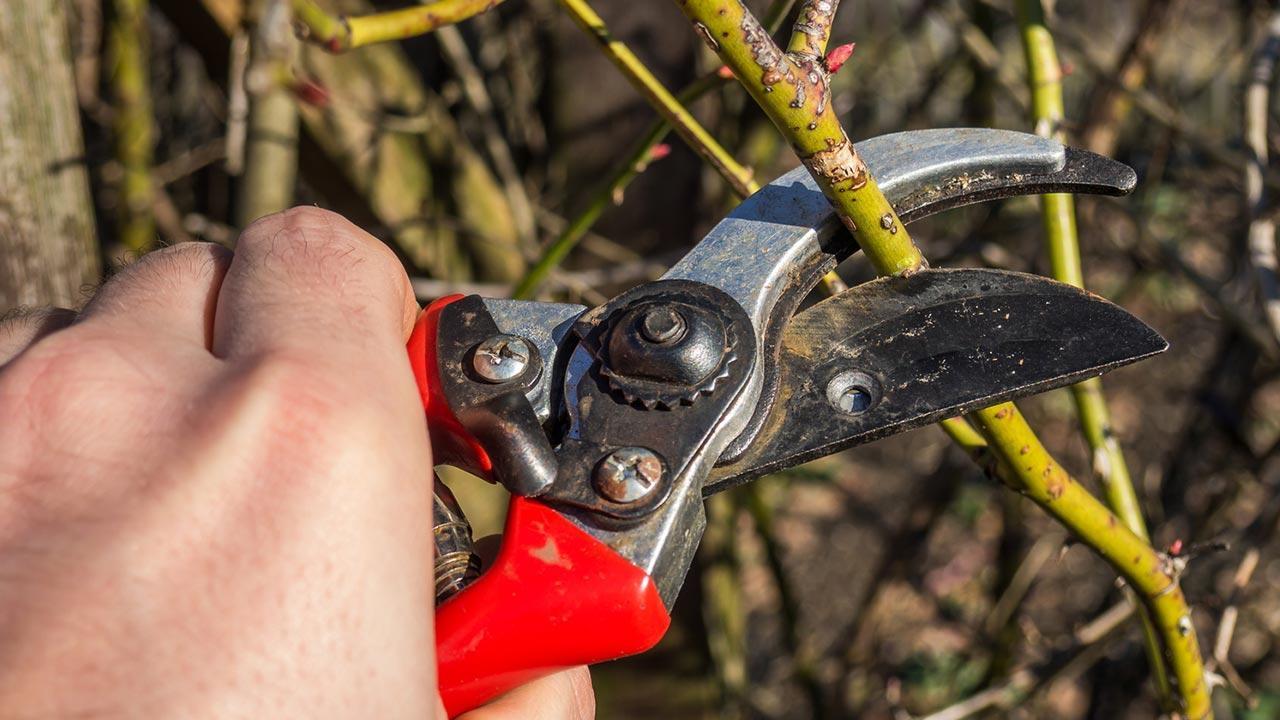 Der richtige Winterschnitt von Hecken und Sträuchern - Gartenschere