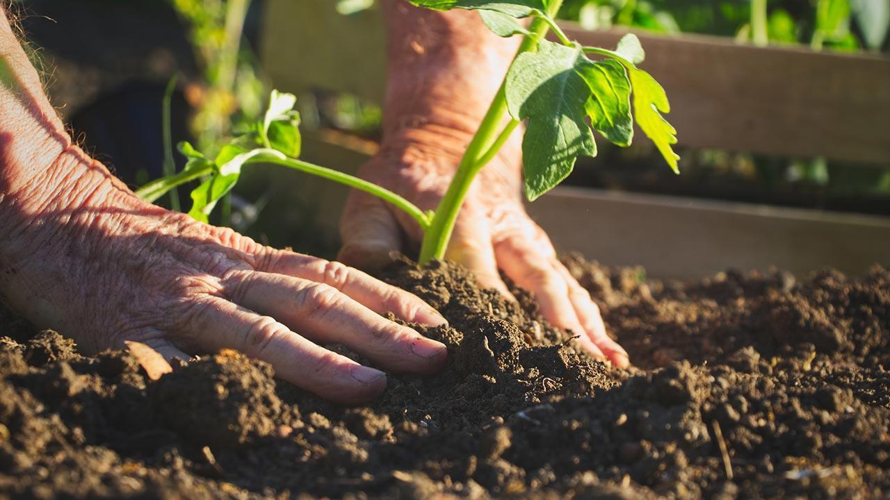 Welches Gemüse kann ich im März pflanzen - Männerhände pflanzen gerade