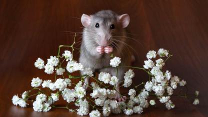 Mäuse als Haustier