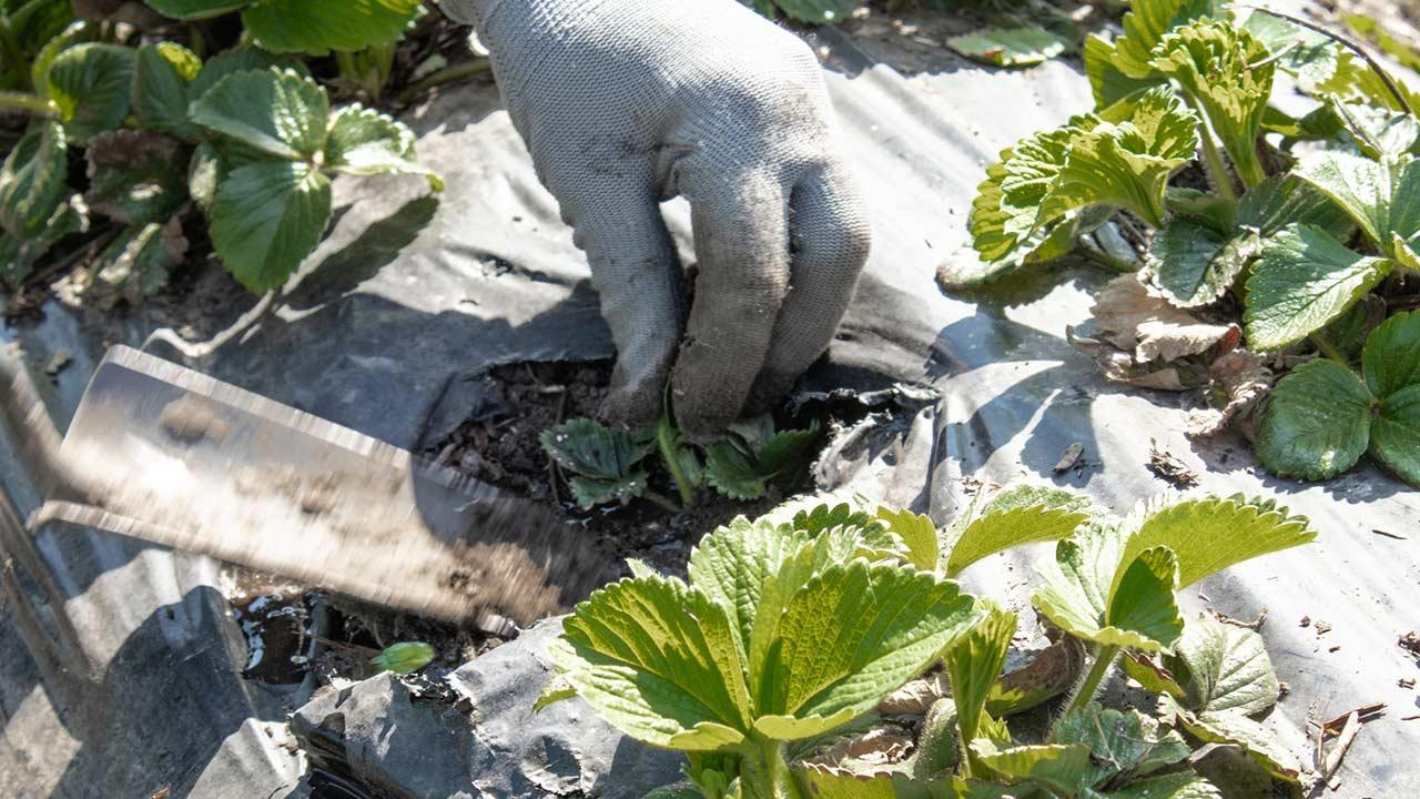 Erdbeeren im eigenen Garten - Samen setzen
