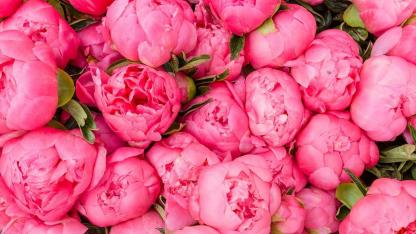 Pfingstrosen im dunkeln Rosa