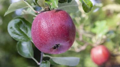 Schmackhafte Apfelbaumsorten für den eigenen Garten