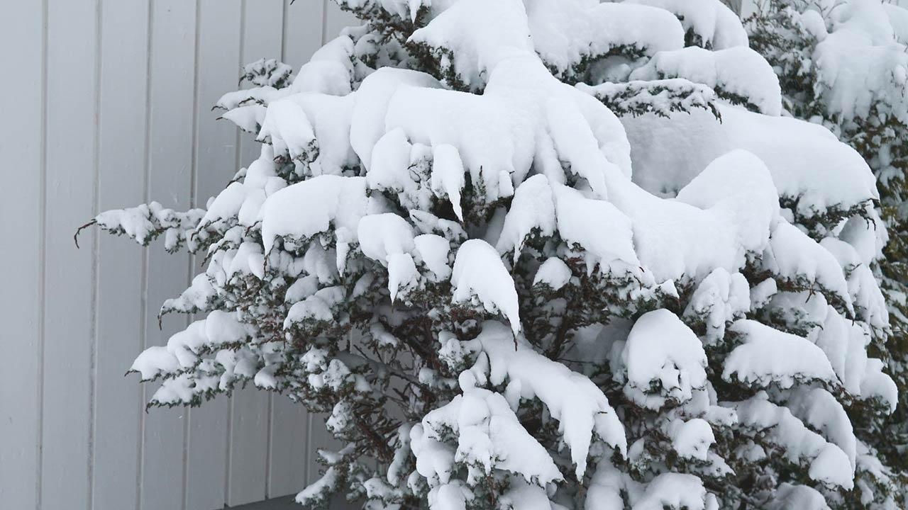 Gartenpflanzen vor der Schneelast schützen - Schnee auf Sträuchern
