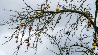 Fruchtmumien im Garten entfernen