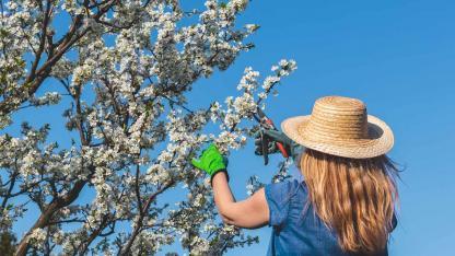 Obstbäume im Frühling richtig beschneiden