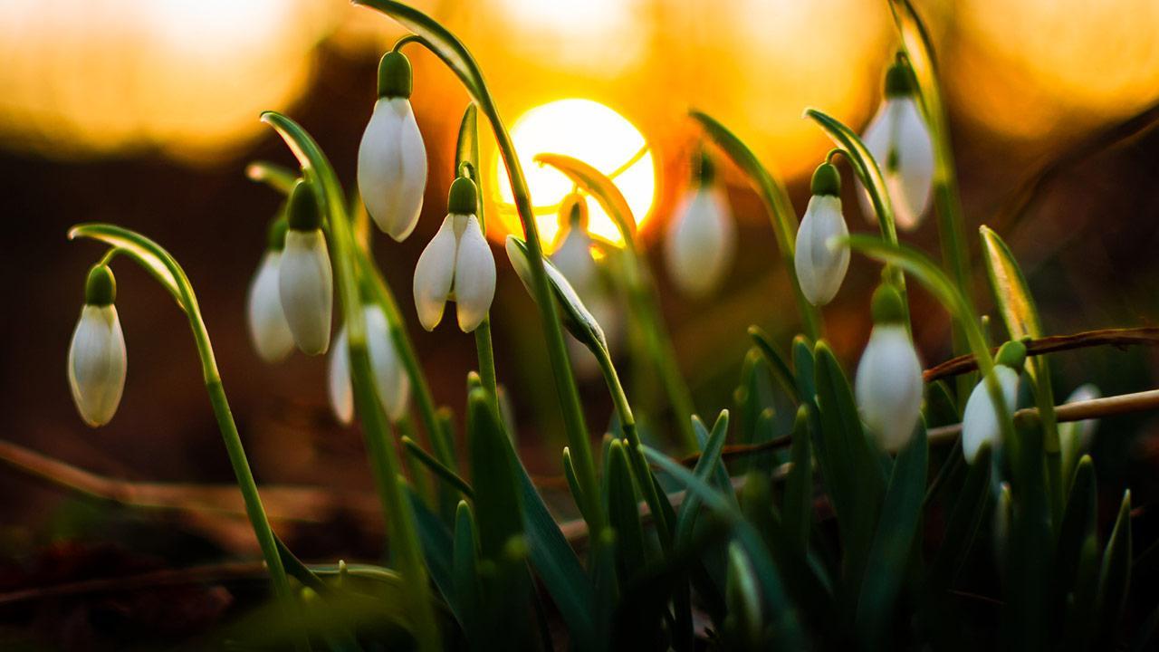 Die schönsten Frühlingsblüher - Schneeglöckchen