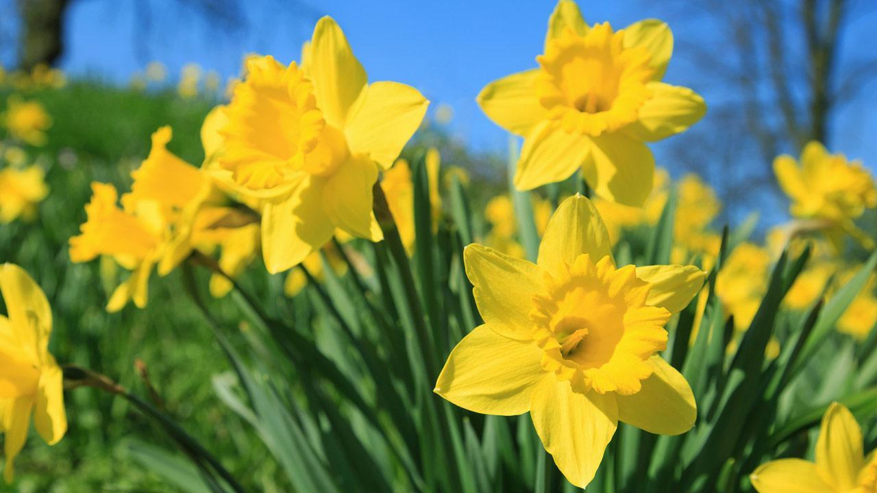 Die schönsten Frühlingsblüher - gelbe Narzissen