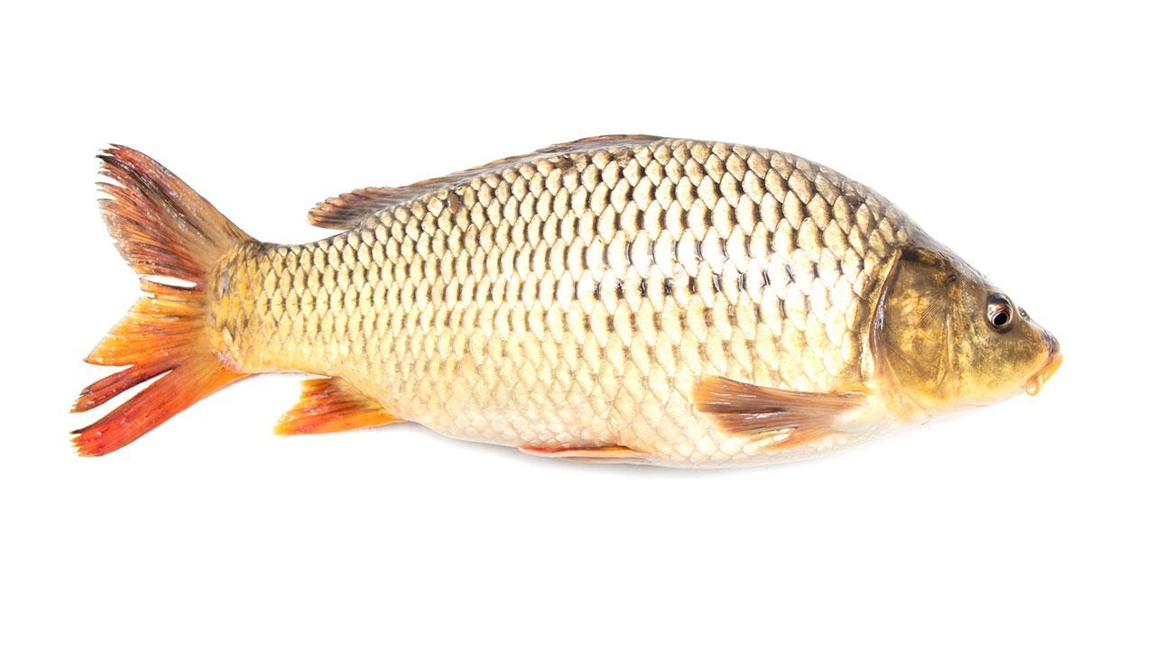 Karpfen zubereiten für Karfreitag - ganzer Fisch