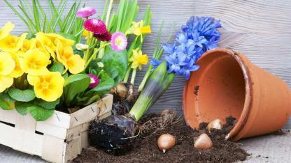 Blumenzwiebeln im Frühjahr setzen