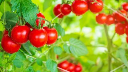 Tomatenhaus selbst bauen - reife Tomaten