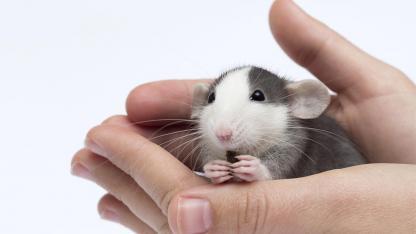 Mäuse - das perfekte Haustier für Kinder ? - Maus in der Hand