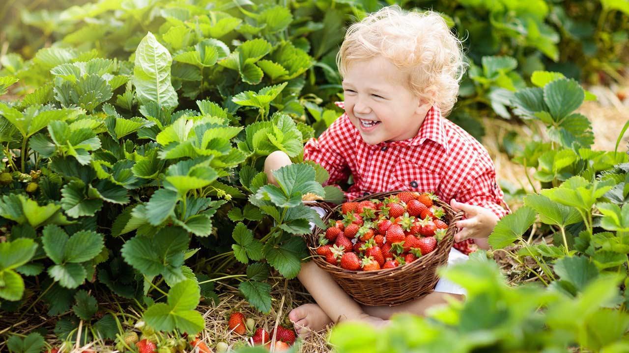 Erdbeeren im eigenen Garten - Junge im Stroh