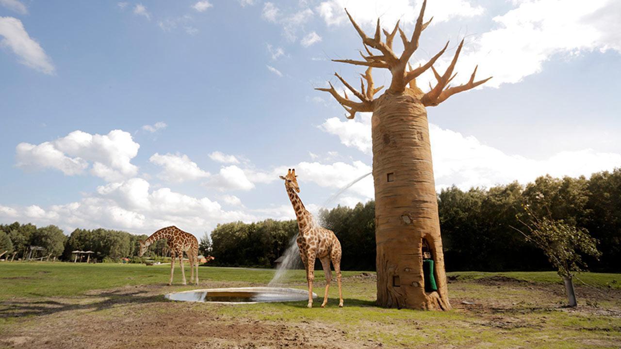 Serengetipark Hodenhagen - Giraffen