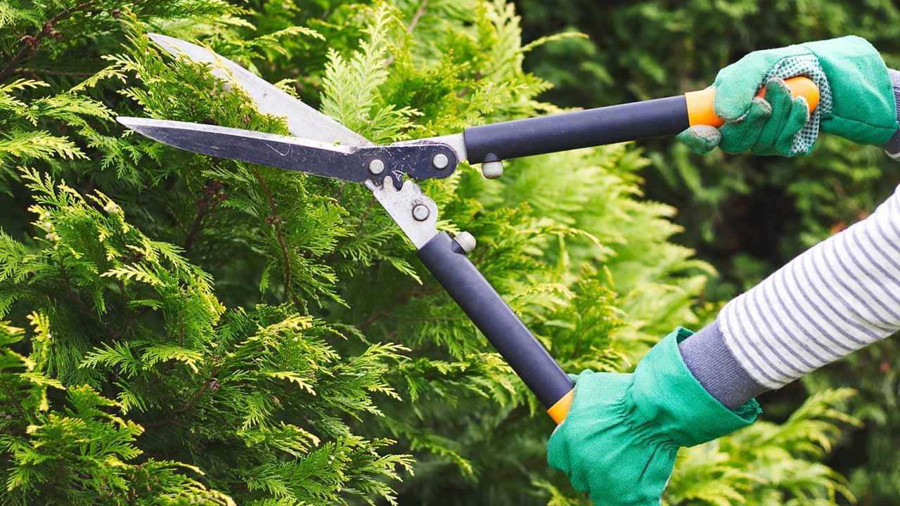Hecke regelmäßig schneiden - Heckenschere