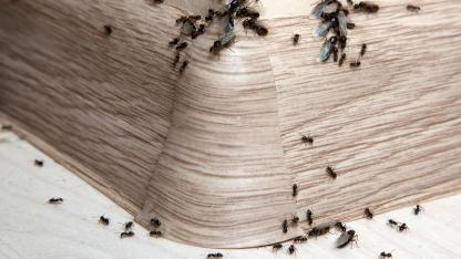 Ameisen im Haus ! Was ist zu tun ?