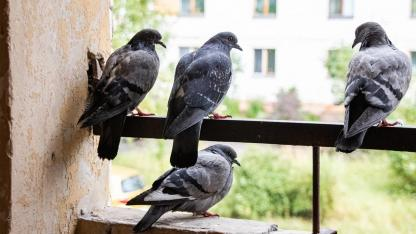 Schädlingsbekämpfung - Tauben / Tauben am Balkon