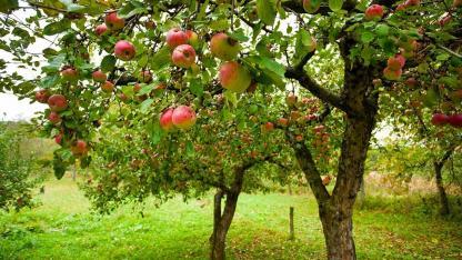 Wie pflanze ich einen Apfelbaum?