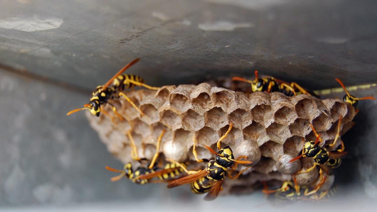 Wespen bekämpfen im Garten / viele Wespen