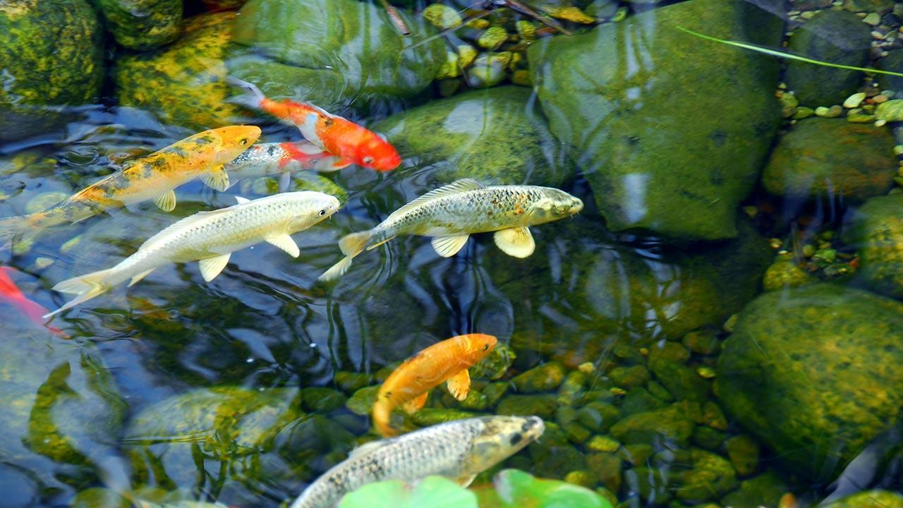 Eis am Fischteich - Was ist zu tun ? - Fische im Teich